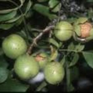 English Walnut Carpathian J Regia