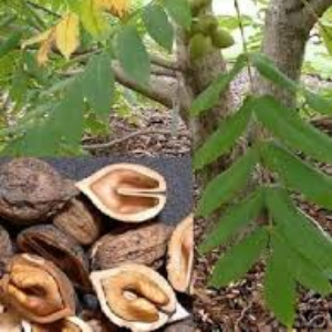 Other Edible Nut Trees | Rhora's Nut Farm