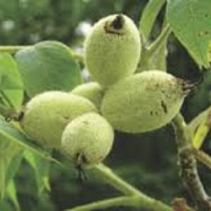Other Edible Nut Trees | Rhora's Nut Farm